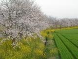三輪の桜並木