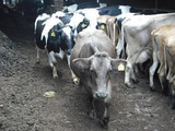 牛さんが寄ってくるぞ〜
