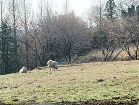 放牧地の羊さん