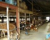 牛舎の中にはかわいいジャージー牛