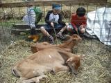 ジャージーの子牛とたわむれる子どもたち