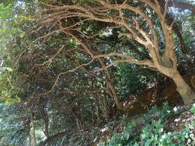 立派な椿の木