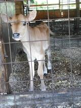 シカみたいなジャージーの子牛
