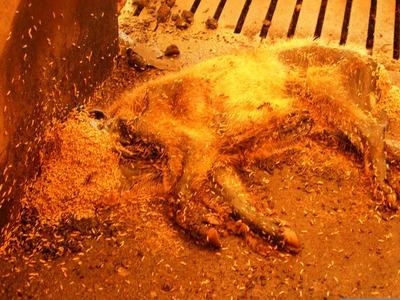 4番目 ウジだらけの豚の死骸