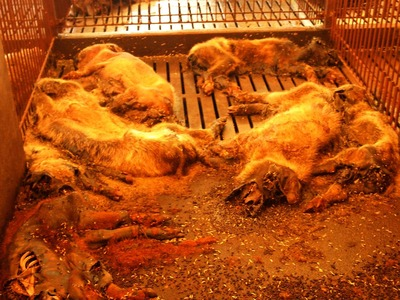 3番目 豚の死骸だらけの豚舎の中