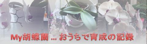 胡蝶蘭おうち育成4