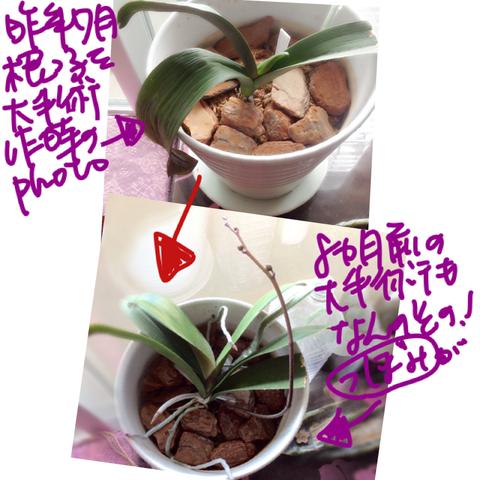 胡蝶蘭おうち育成8