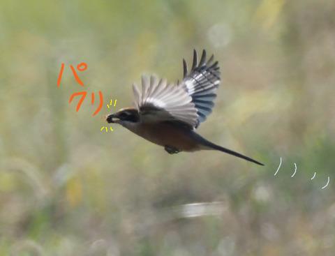 mozu-pakuri