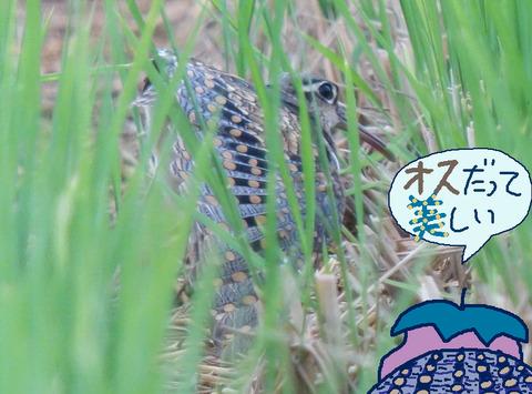 tamashigi-osu