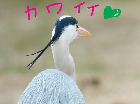 aosagi-kawaii