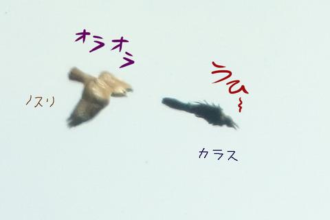 nosuri-karasu-uhi