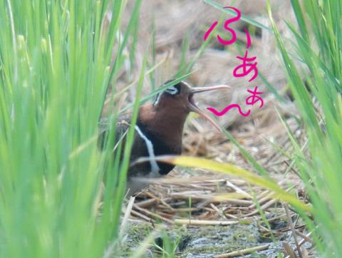 tamashigi-fuaa