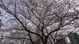 桜201903-02
