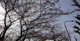 桜201903-01