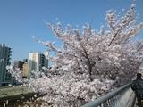 桜2018-03