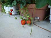 自宅のイチゴ '10 収穫 (2).JPG
