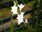 グラジオラス春咲き