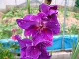 グラジオラス 07 紫 (1).JPG