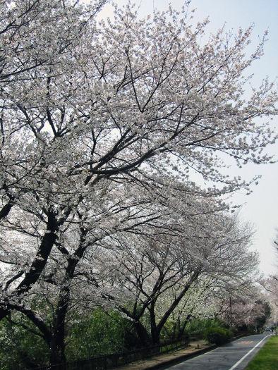 sakura2006(tamagawajyousui)