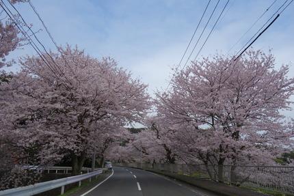 27-多良見町古川の桜SC04331