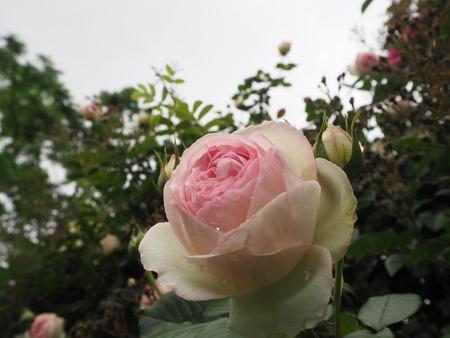 26-諫早市大場町 大室さんのバラ園 P5161274