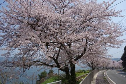 17-多良見古川の桜DSC04694