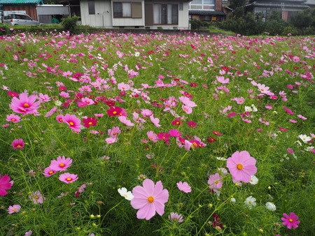 4−多良見町大草 コスモス畑PA191945