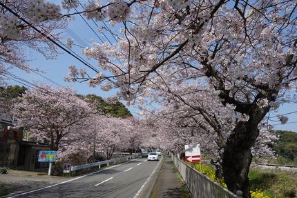 8-多良見町古川の桜-DSC04099