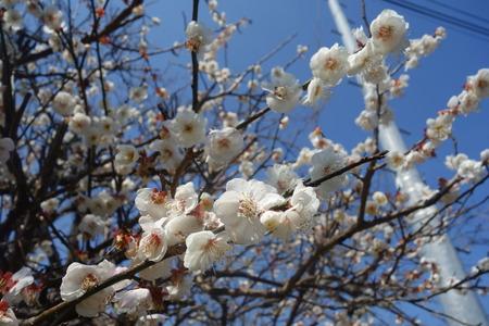 22-国見町神代小路 緋寒桜の郷まつりDSC00416
