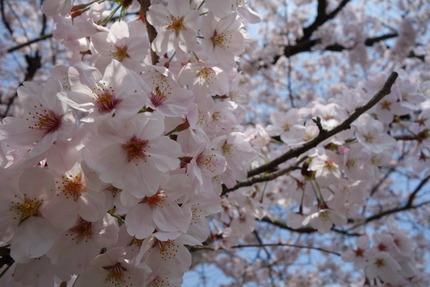 23-多良見町古川の桜DSC04782