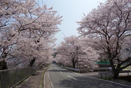 19-多良見古川の桜DSC04711