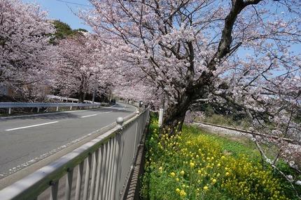 7多良見町古川の桜-DSC04108