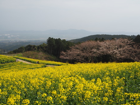 14-諫早市 白木峰高原の菜の花P3193582