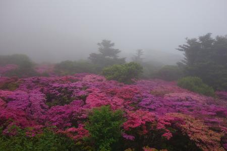 11-雲仙 仁田峠 ミヤマキリシマDSC06776