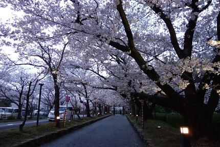 3−大村公園の桜DSC04904
