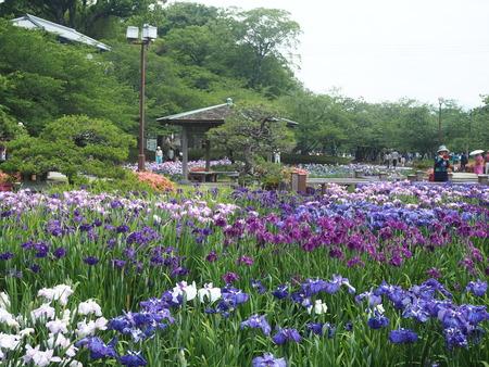 10-大村公園 花菖蒲PP5310089