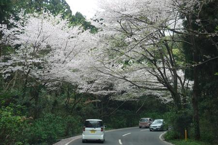 6−唐比の桜並木DSC01888