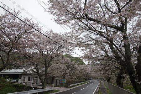 5−多良見町古川の桜並木DSC02006
