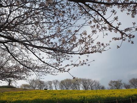 16-諫早市 白木峰高原の菜の花P3193619