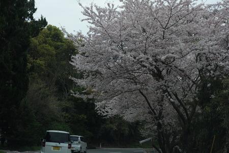 4−唐比の桜DSC01877