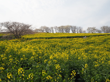 11-諫早市 白木峰高原の菜の花P3193623