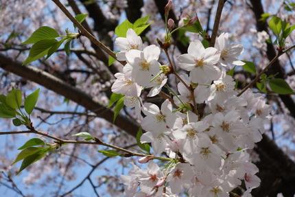 16-多良見町古川の桜DSC04887