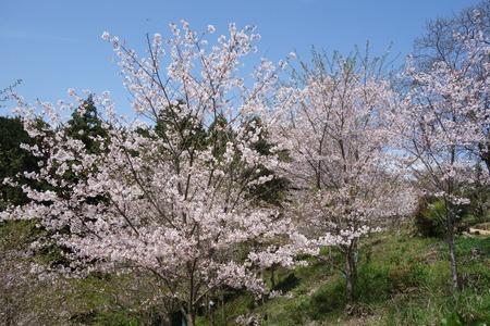 24-大村市千本桜公園DSC05999