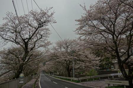 3−多良見町古川の桜並木DSC01981