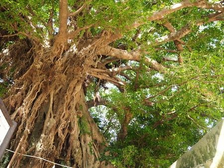 42-奈良尾神社 あこうの木PB210927