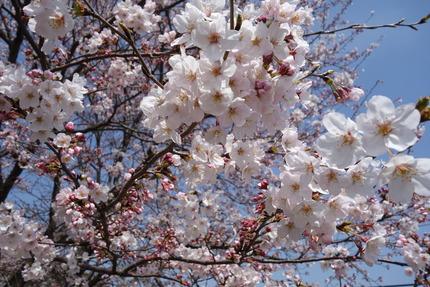 5-多良見町古川の桜DSC04071