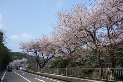 15-多良見古川の桜DSC04682