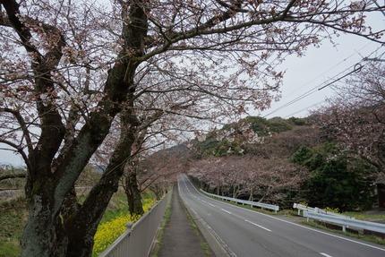 13−国道207号線多良見町古川の桜DSC03641