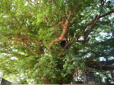 44-奈良尾神社 あこうの木PB210910