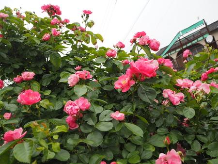 17-諫早市栗面町 Mai's garden P5171409